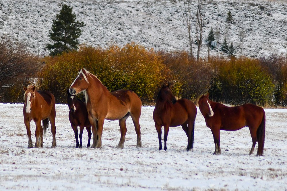 horses in snowy pasture with fall colors in the background