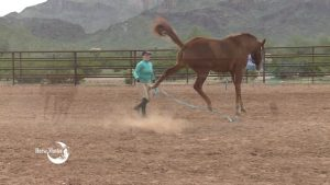 Horse kicking out at handler.